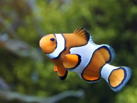 Male Clownfish Can Change Their Sex