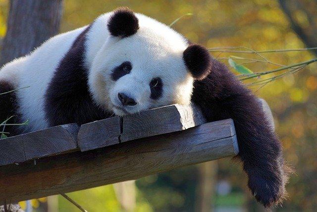 Facts About Pandas