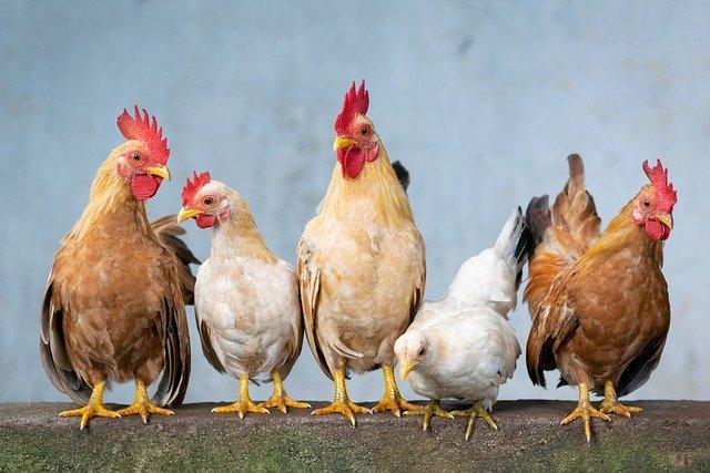 Some Chickens Are Born Half Male And Half Female