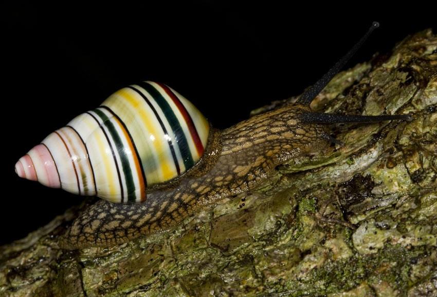 Candy Cane Snail