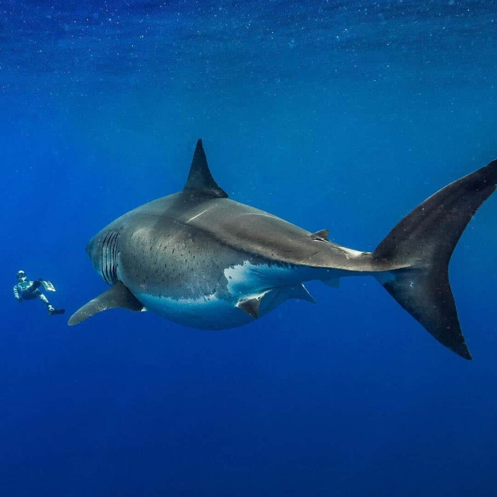Largest Great White Shark